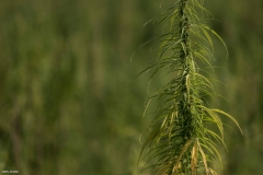 Cannabisfeld